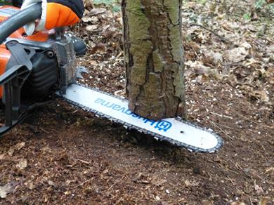 Chainsaw Felling Small Tree201