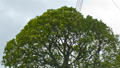 Tree With Through Pruning For Powerlines