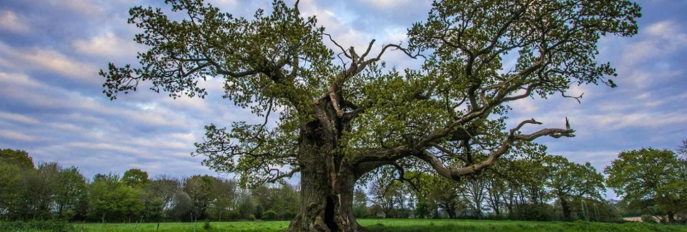 Old tree in England